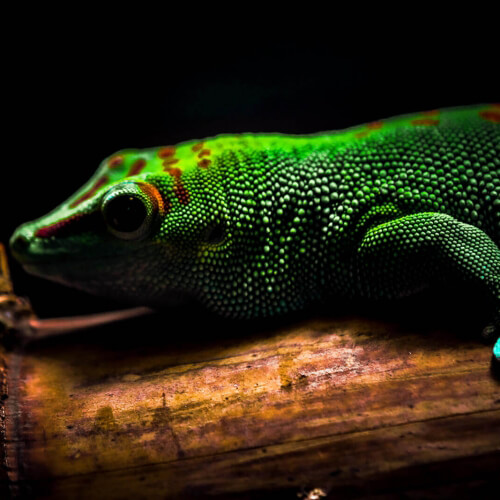 Academy-Of-Science-Madagascar-Giant-Day-Gecko