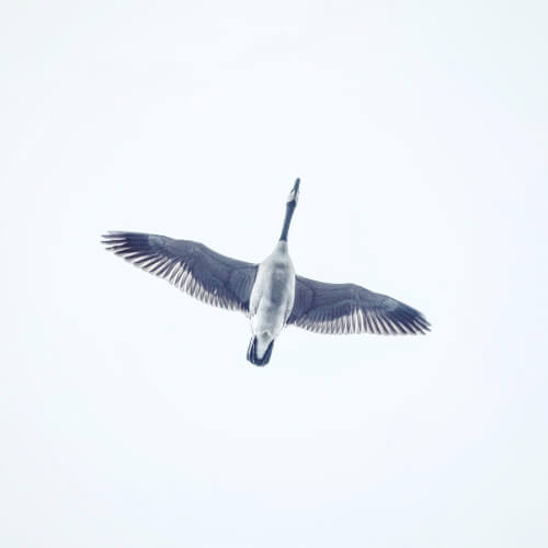 Bird-Flying-Overhead