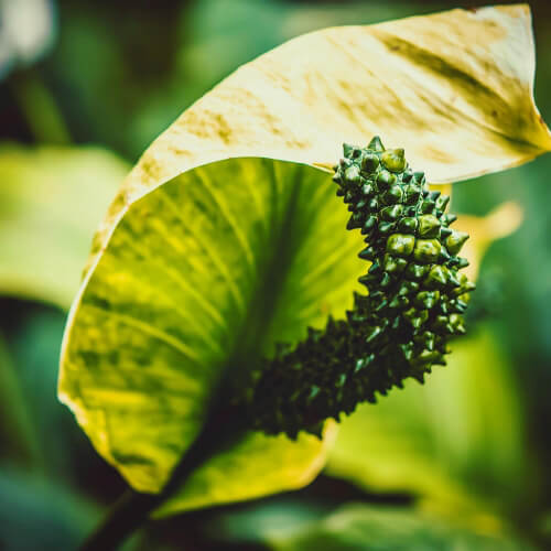 Des-Moines-Botanical-Garden-Green-Flower