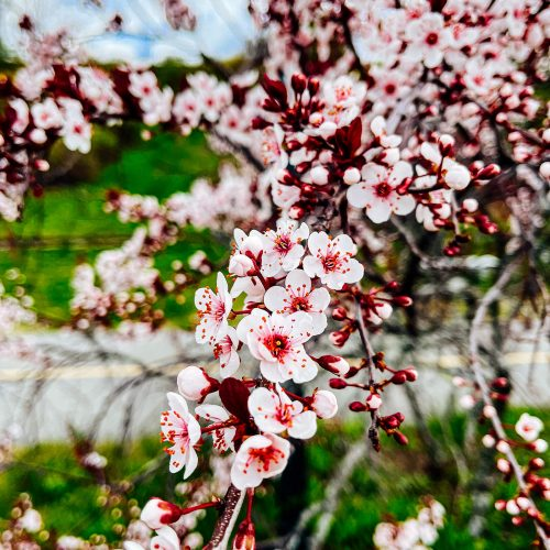 Eastern-Promenade-Cherry-Blossoms