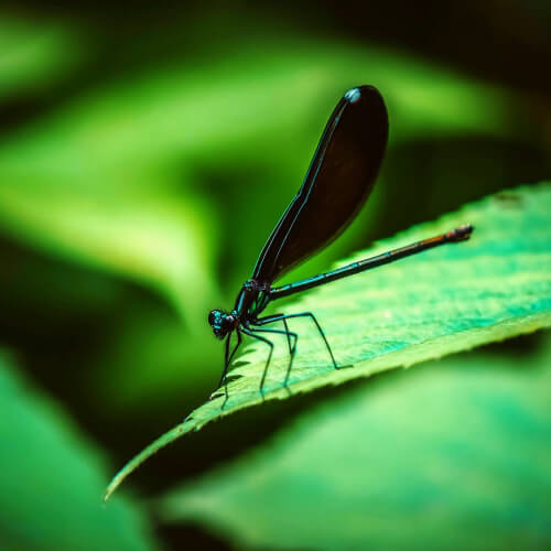 Ebony-Jewelwing