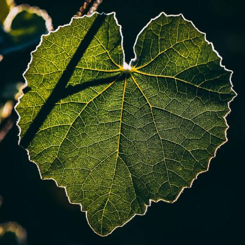 Glowing-Leaf