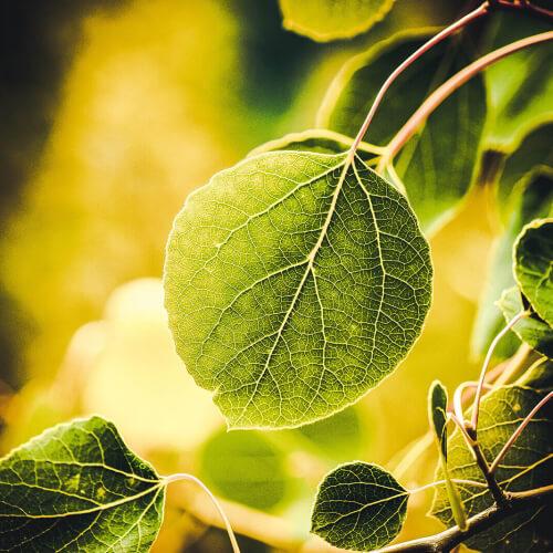 Grand-Teton-Leaf