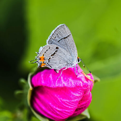 Gray-Hairstreak