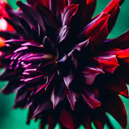 Hinckley-Park-Dark-Flower