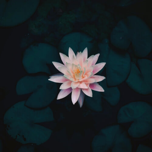 Nymphaea-Water-Lilly