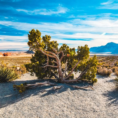 Red-Rock-Canyon-Tree