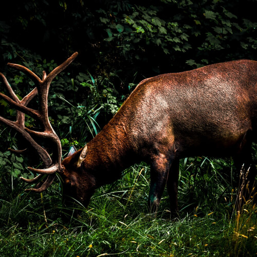 Red-Woods-National-Park-Elk