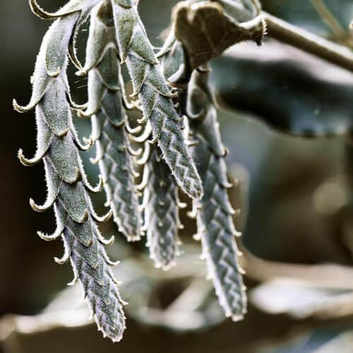 Silktassel-Catkins-Oregon-Botanical-Garden