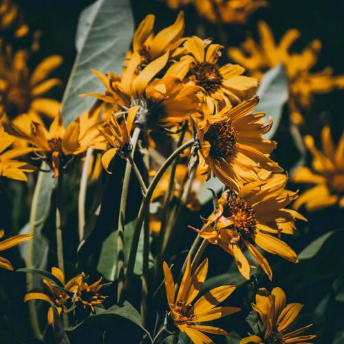 Teton-Flowers