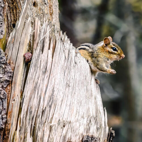 Timber-Point-Island-Chipmunk