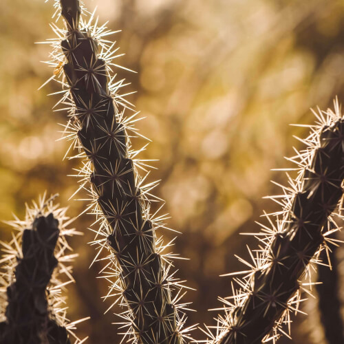 Triangle-Cactus-Acanthocereus-Tetragonus