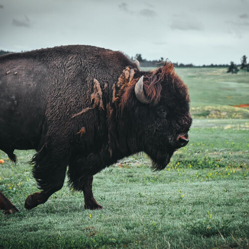 Wind-Caves-National-Park-Bison-Walking