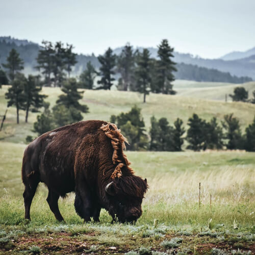 Wind-Caves-National-Park-Bison