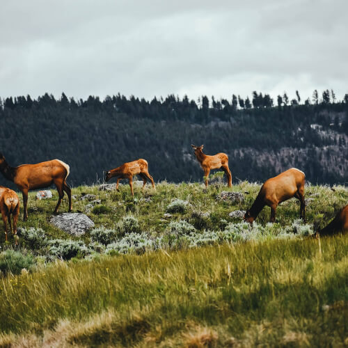 Yellowstone-Deers